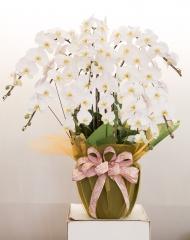 長潁農業 蘭花組合盆-白
