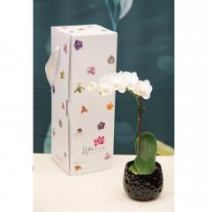 長潁農業 蘭花伴手禮盒- 小 白蝴蝶蘭